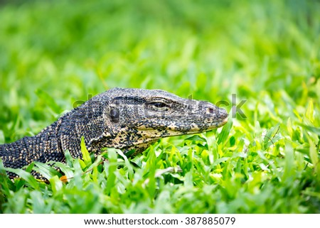 A young monitor lizard with green grass background in public park at Bangkok Thailand.