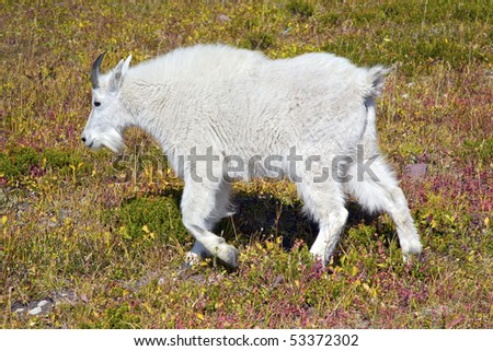 A young mountain goat in Glacier National Park, Montana, United States.