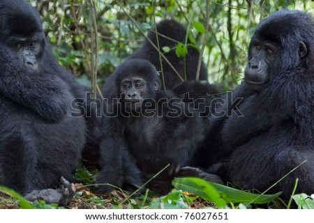 A young mountain gorilla with an adult on both sides. Members of the Nkuringo family. - stock photo