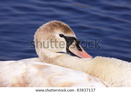 a young mute swan make her toilet. his attitude is soft - stock photo