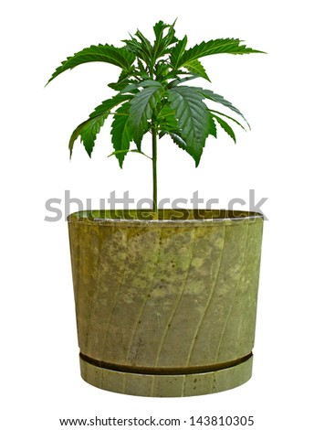 A young new growing cannabis (marijuana) plants in an old flower pot isolated on white - stock photo