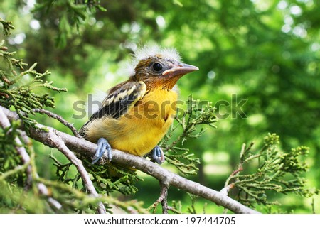 A young newly fledged from the nest Baltimore Oriole chick sits tight on a limb waiting for mom or dad to come and feed it. - stock photo