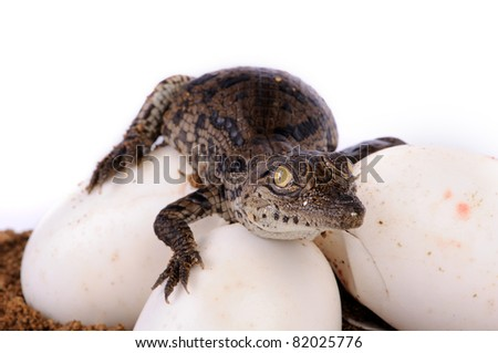 A young nile crocodile hatching from egg - stock photo