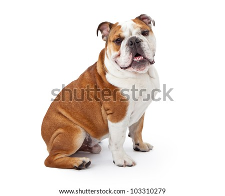 A young nine month old English Bulldog sitting against a white background and looking at the camera - stock photo