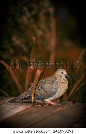 A young North American mourning dove (Zenaida macroura) sits on a wooden deck amidst orange, autumn foliage with space for text or copy. - stock photo
