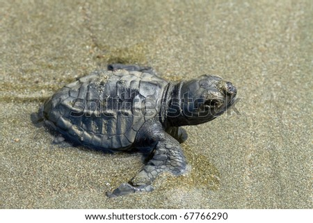 A young Olive Ridley turtle making it's way to the ocean - stock photo