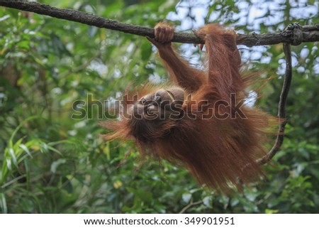 A young Orang Utan swings from a vine