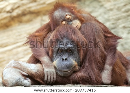 A young orangutan is sleeping on its mother. Sweet orangutan family portrait. Wild beauty of a human-like monkey.  - stock photo