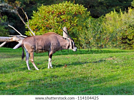 a young oryx grazing in a field - stock photo