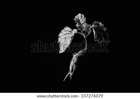 A young patchouli plant with roots showing is suspended in mid air against a black background with side lighting in black and white.