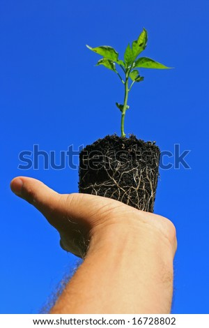 A young pepper plant being held in the palm of the hand showing its roots visible through its growing medium, set against a bright clear blue sky. - stock photo
