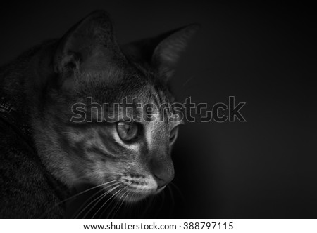 A young  pet cat staring at something in the shadows. A low key portrait