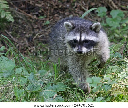 A young raccoon (Procyon lotor) sitting in brush.  Shot in Stanley Park in Vancouver, British Columbia, Canada.  - stock photo