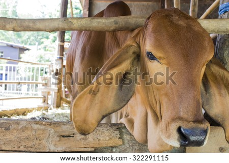 a young red cow in cowshed, selective focus on it's eye