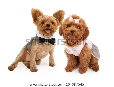 A young red Poodle puppy wearing a pink dress, hair bow and pearl and rhinestone necklace and a Yorkshire Terrier Puppy wearing a black bow tie sitting together against a white background - stock photo