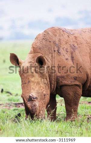 A young rhinoceros feeding on fresh green grass in the Rietvlei Dam nature reserve in South Africa. It's a rainy day, and the Rhino is covered in mud to ward of flies and other pests - stock photo