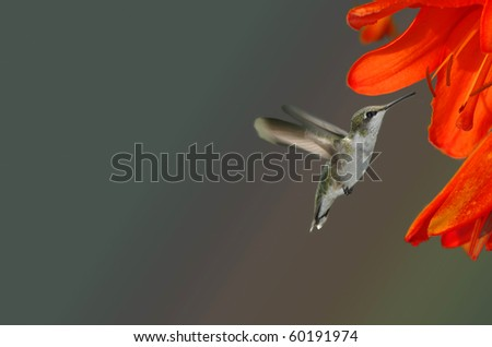 A young Ruby Throated Hummingbird approaching an orange day lily - stock photo