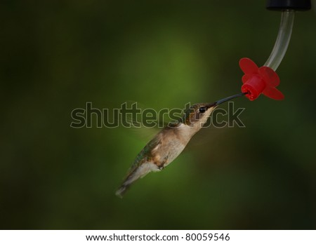 A young ruby-throated hummingbird at a feeder