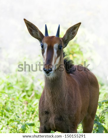 A young sable antelope female on sunlit background. Wild beauty of the hoofed animal. Pretty girl of African savanna. - stock photo