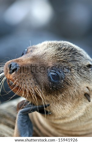 A young Sea Lion - stock photo