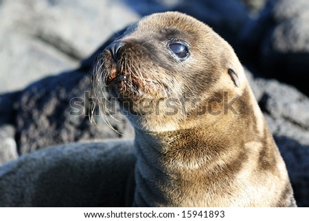 A young sea lion on the rocky beach of the Galapagos Islands - stock photo
