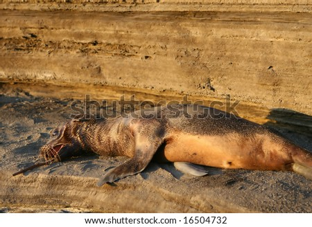 A young sea lion pup playing with a stick. Shot in the Galapagos islands - stock photo