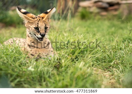 A young serval hissing in the green grass