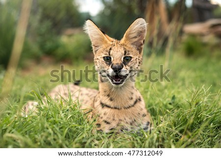 A young serval looking directly forwards