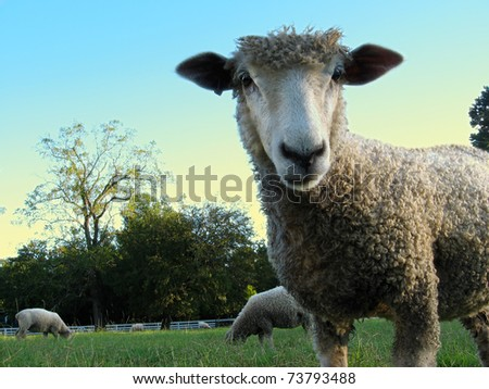 A young sheep stands in a green meadow under a blue sky, gazing directly at the viewer, very close-up. - stock photo