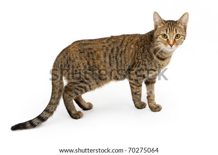 A young six month old black and tan tabby kitten isolated on white