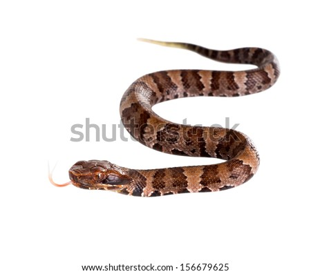 A young snake American Copperhead (Agkistrodon contortrix)  with his tongue hanging out - stock photo