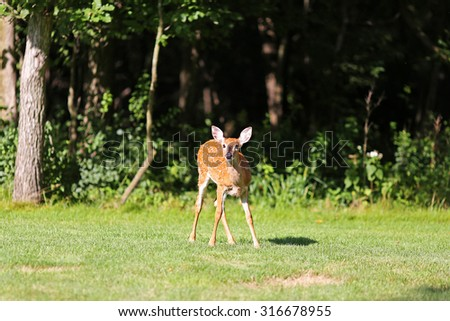 A young spotted baby fawn deer is standing in the wild in a clearing by the forest. - stock photo