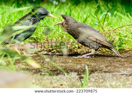 A young starling (Sturnus vulkgaris) is fed a woodlouse by its mother in an urban British garden. Horizontal landscape format. - stock photo