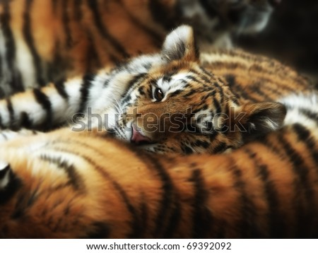 A young tiger cub with her chin on a sleeping mom's back. - stock photo
