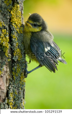 a young tit on a tree trunk - stock photo