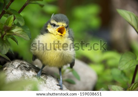a young tit sitting on a stone in a herb garden and chirping - stock photo