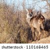 A young Waterbuck looks back at the camera - stock photo