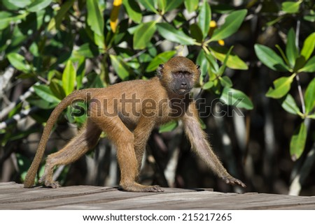 A young Western Baboon (Papio papio) on a walkway by the mangroves - stock photo