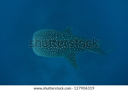 A young whale shark (Rhincodon typus) cruises through the tropical waters of the Caribbean Sea.  This species is the largest living fish on Earth and is listed as vulnerable by the IUCN. - stock photo