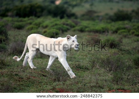 A young white lioness walking past. - stock photo