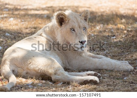A young white male lion indigenous to South Africa