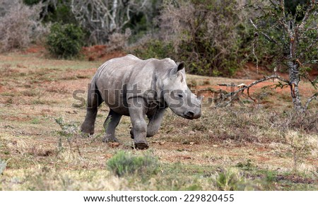 A young white rhino / rhinoceros calf running freely in South AFrica - stock photo