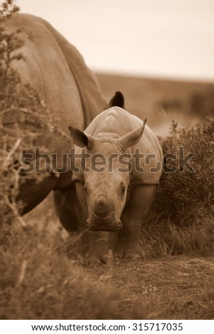 A young white rhino / rhinoceros with her mom at her side. South Africa - stock photo