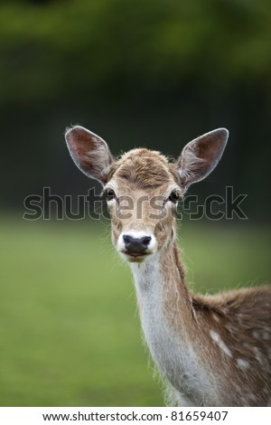 A young white tailed deer looking at the camera.
