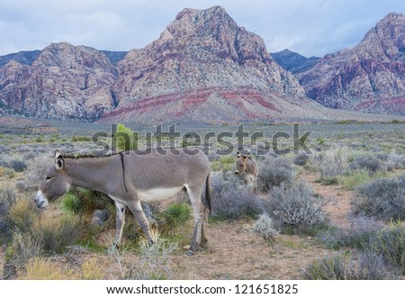 A young wild burro with his mother in the Nevada desert - stock photo
