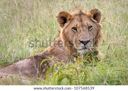 A young WILD male Lion rests in the grass keeping an ever-watchful gaze in the Masai Mara, Kenya, Africa. - stock photo