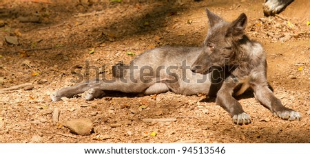 A young wolf in a german zoo - stock photo