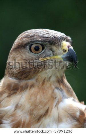 A young yellow-billed kite bird looking intently