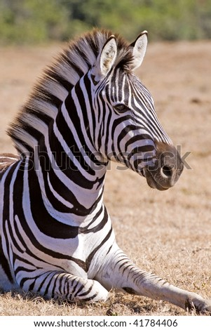 A young Zebra rests out on the African Plain