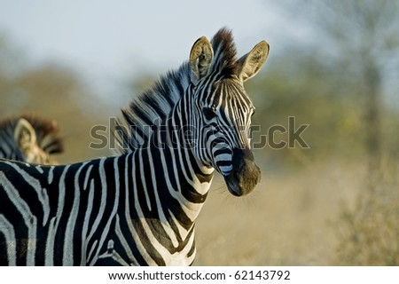 A young zebra with long whiskers - stock photo